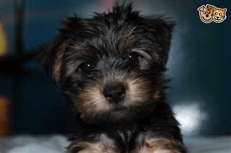 yorkie puppies for sale essex terrier puppies for sale maldon essex pets4homes