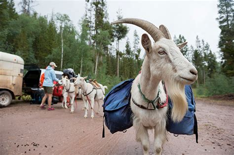 can you house train a goat backpacking the goatworthy way backcountry com