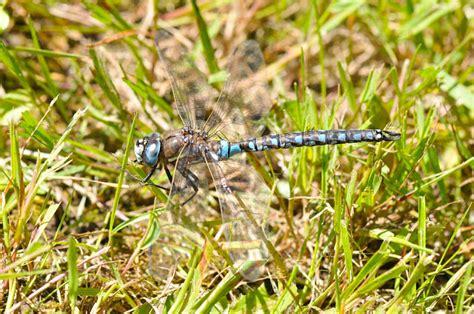 Common Dragonflies Of California the dragonfly whisperer species spotlight california darner