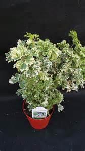Unique Indoor Planters snowflake aralia