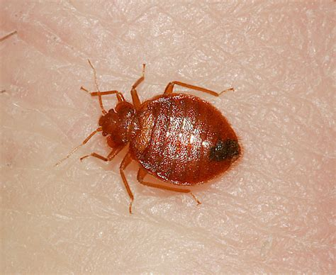 bed bug drug buckeye hills agriculture and natural resources programs