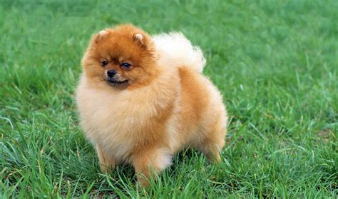 pomeranian information and care pomeranian breed information
