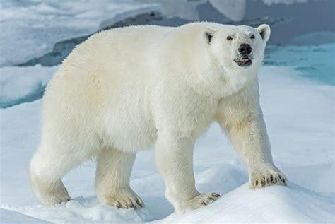 imagenes animales polares imagenes oso polar oso polar youtube el oso polar