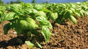 come piantare il basilico in vaso basilico come prendersene cura garden4us