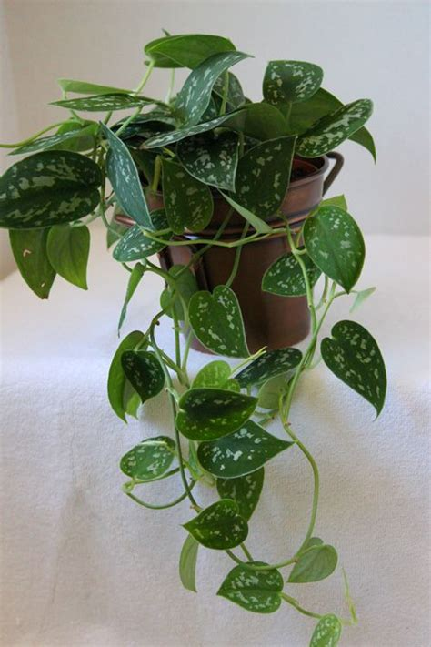 easy care indoor plants philodendron silver an easy care trailing houseplant