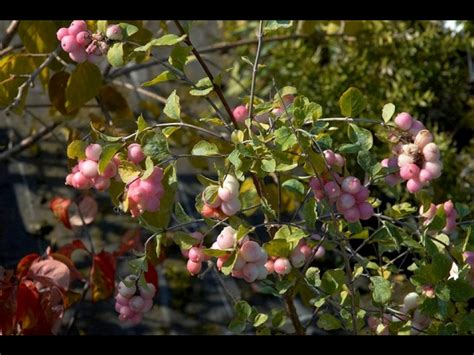 Arbuste A Baie by Arbuste A Baie Cet Arbuste Que Luon Retrouve La Plupart