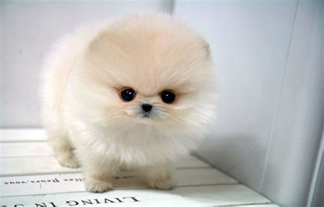 teacup pomeranian puppy pomeranian temperament exercise and grooming inspirationseek