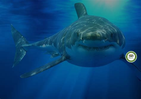 great white shark dive pin shark dive show on