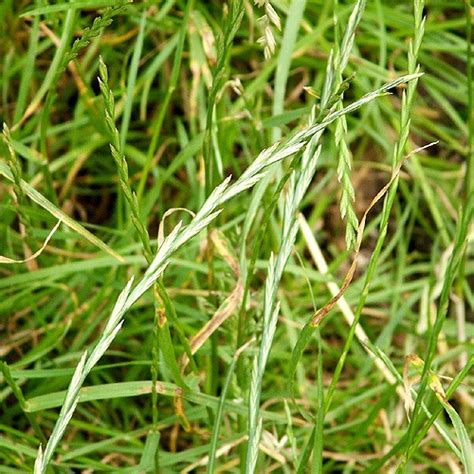 what is couch grass fgvw flora and fauna the plants of gledhow valley a z
