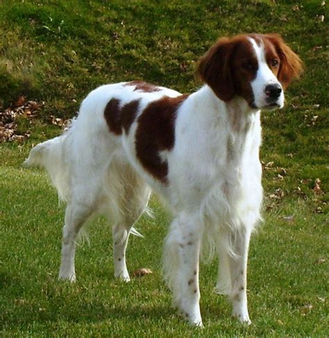 setter dog short hair irish red and white setter irws info puppies pictures