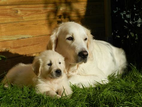 golden retriever original breed what of should we get breeds for familyeducation