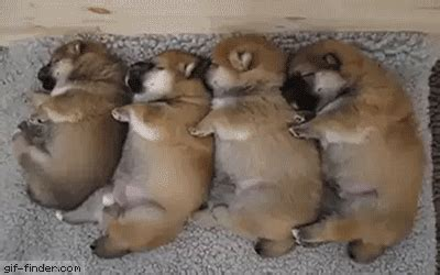 Sleeping In Bed Puppies Shiba Gif Find Amp Share On Giphy