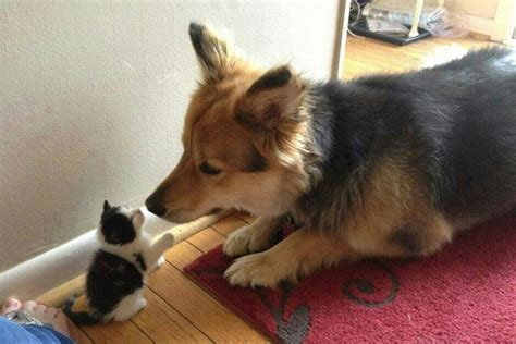 introducing a puppy to a cat how to introduce a cat two dogs cats kittens