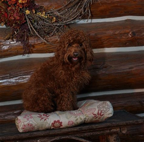 labradoodle puppies for sale in wi wisconsin australian labradoodle breeder the labradoodle corral wisconsin
