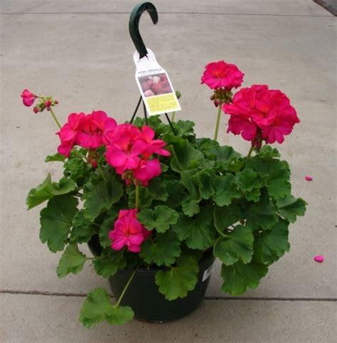 Tanaman Hias Bunga Geranium Pink tanaman geranium fuchsia pink bibitbunga