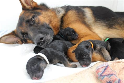 newborn german shepherd puppies with newborn puppies between