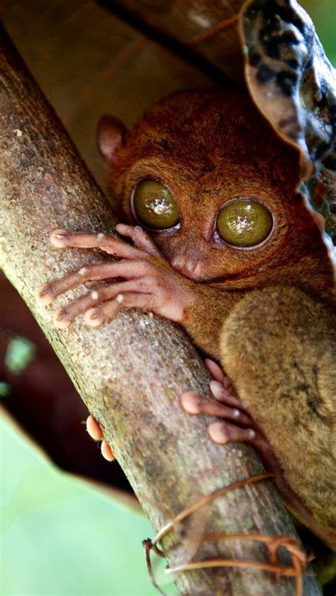 wallpaper tarsier philippines wildlife national