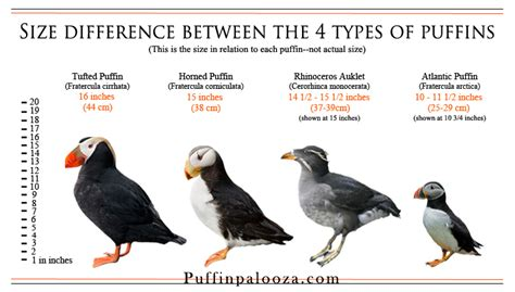 types of puffins puffinpalooza