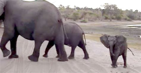 sneezes when excited baby elephant sneezes and runs away