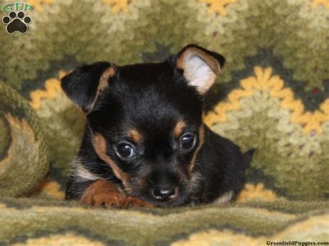short haired chorkie short haired chorkie dogs hairstylegalleries com