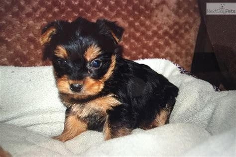 teacup yorkie puppies for sale chicago terrier yorkie puppy for sale near chicago illinois 771bc555 7cc1