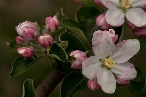 fiori di melo alberi da frutto melo