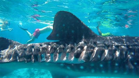 boat propeller injury photos whale shark sustains serious injuries from boat propellers