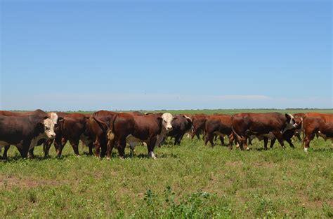 imagenes con movimiento vacas tiernas im 225 genes reales de vacas en el co banco de