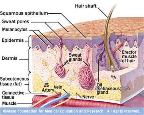 hair colorants and the cancer connection protect cyhsanatomy2 epidermis