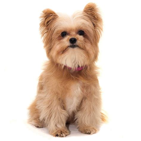 yorkie description yorkie pom breed 187 everything about yorkie pomeranian mixes