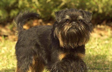 calm dogs calm non shedding dogs breeds picture breeds picture