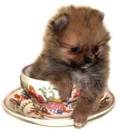 Backyard Dog Breeders Teacup Pomeranians