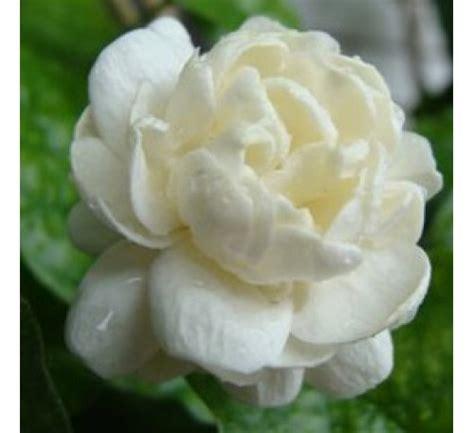 buy arabian jasmine mogra double   cheap price