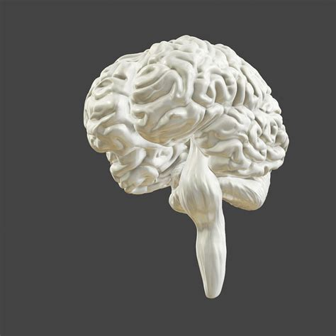 printable accurate human brain  model  printable obj stl cgtradercom
