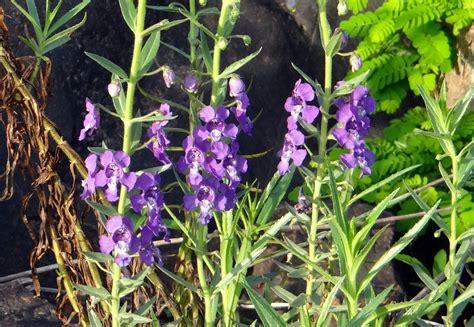 Bibit Bunga Lavender Asli bunga angelonia ungu mirip bunga lavender grosir tanaman