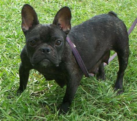 frenchton puppies for sale in alabama frenchton and bulldog puppies for sale highnote alabama breeds picture