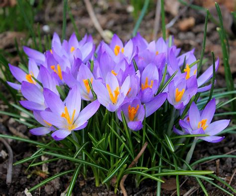 fiori crocus free photo crocuses easter flowers free image
