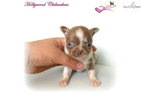 blue merle teacup chihuahua puppies sale chihuahua puppy for sale near western massachusetts massachusetts 1e44f582 37b1
