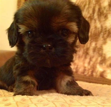king charles x shih tzu cavalier king charles shih tzu puppy breeds picture