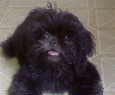 black shih tzu puppy the gallery for gt black shih tzu puppies