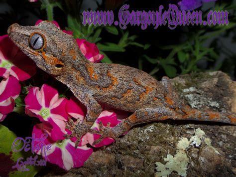 gecko change color gqr s individual gecko color variations gargoyle