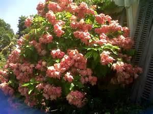 Shrub Flowers - mussaenda