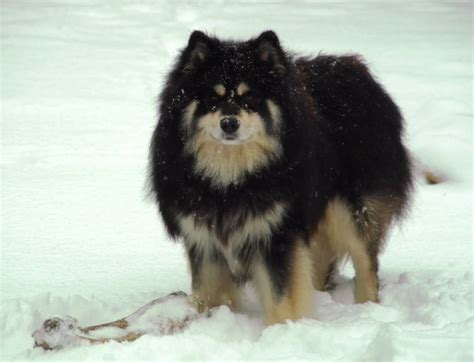 lapphund puppies lapphund on the snow photo and wallpaper beautiful lapphund