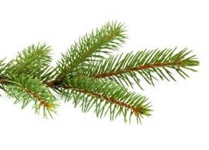 Decoration For Winter - pine tree branch isolated on white backgrond stock photo colourbox