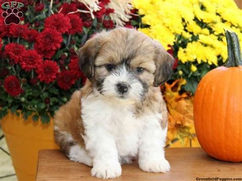 shichon puppies for sale in pa shichon teddy puppies for sale in pa puppy