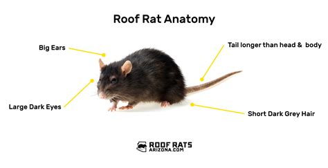 how to get a rat out of your house how to get a rat out of your house 28 images how to get roof rats out of your