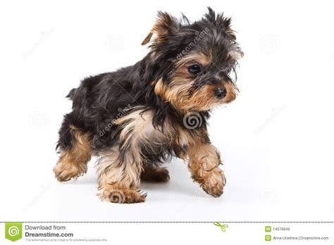 free yorkie puppy terrier puppy royalty free stock images image 14576849