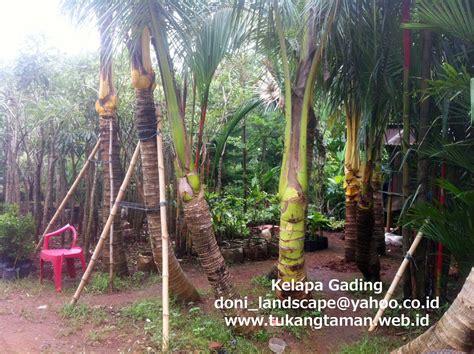 jual pohon kelapa gading pohon pelindung tukang taman