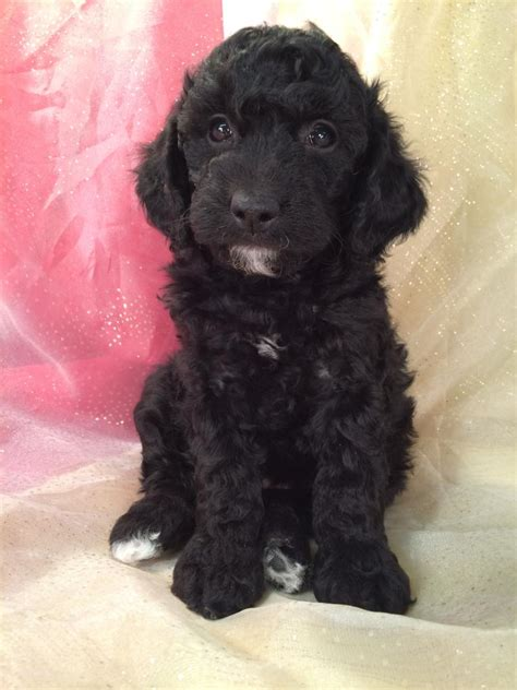 mini doodle iowa black mini goldendoodle breeder ia wi il mn