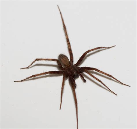 House Spiders by House Spider Tegenaria Domesticus Wildlife Photography